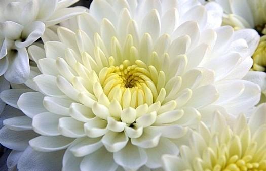 il-crisantemo