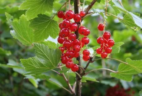 Coltivare i frutti di bosco in giardino si può